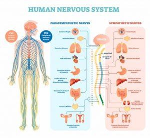 subluxación vertebral y sistema nervioso neurológico